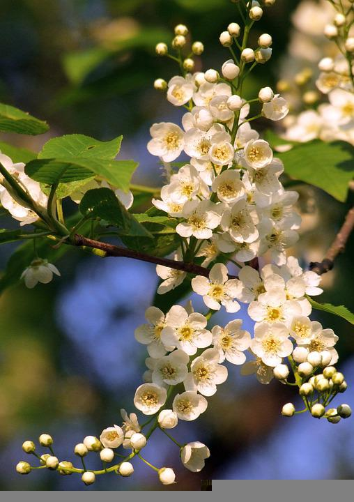 White Flowers, Inflorescence, Small Flowers