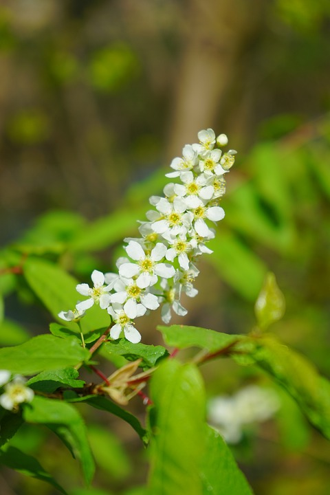 Inflorescence, Flowers, White, Common Bird Cherry
