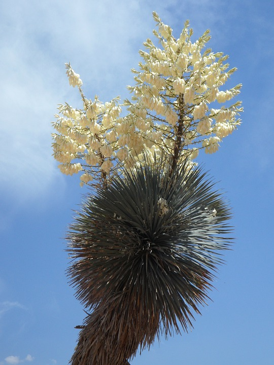 Yucca, Yucca Palm, Bloom, Blossom, Bloom, Inflorescence