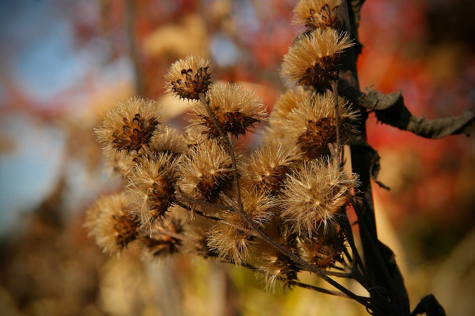 Dried Flowers, Faded, Flying Seeds, Inflorescences, Dry