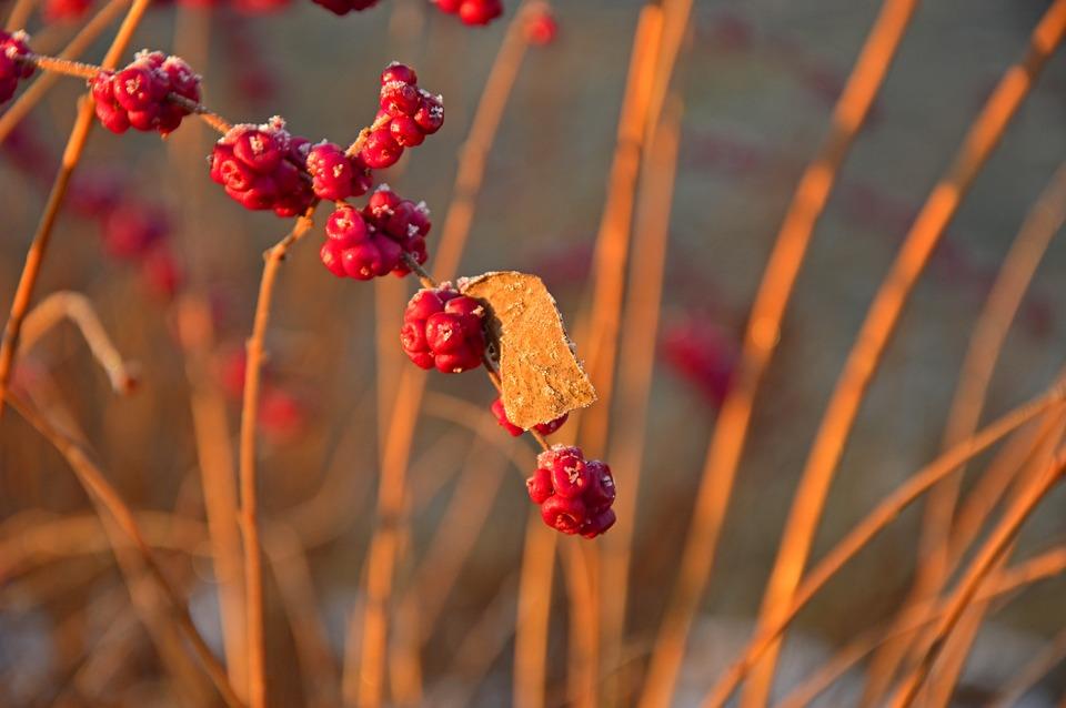 Bush, Grasses, Berries, Inflorescences, Nature, Flora