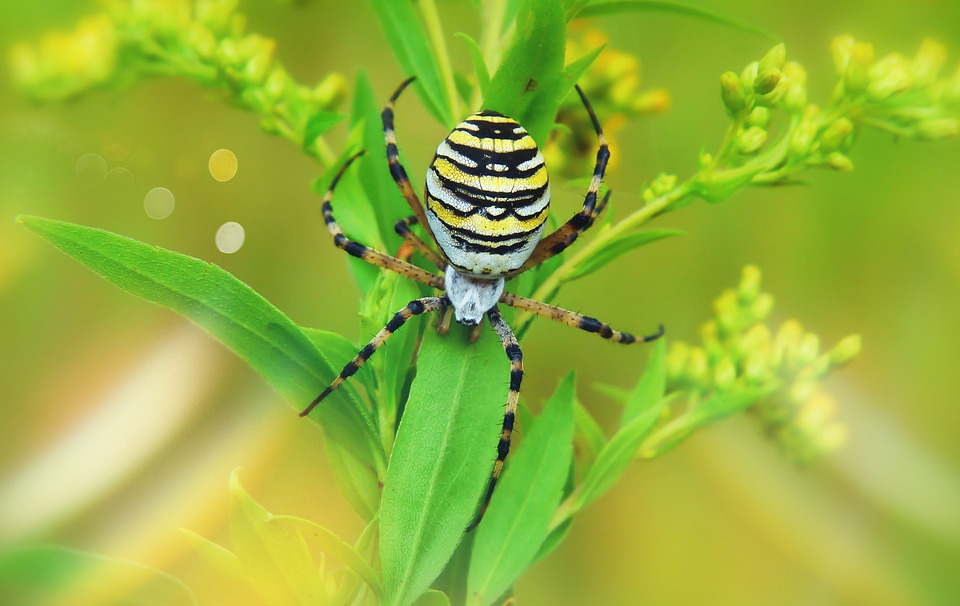 Tygrzyk Paskowany, Female, Arachnid, Insect, Abdomen