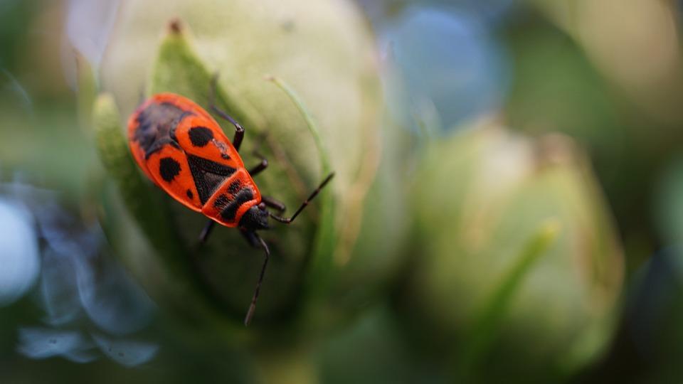 Fire Beetle, Insect, Beetle, Animal, Animal Portrait