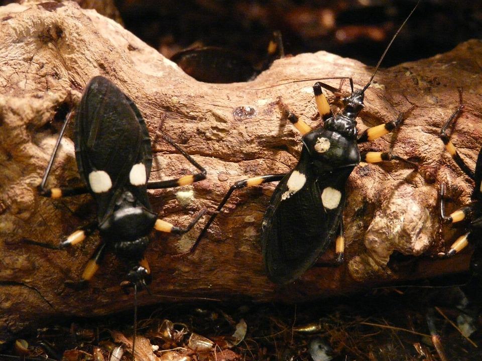 Two Spot Raubwanze, Raubwanze, Bug, Insect, Animal