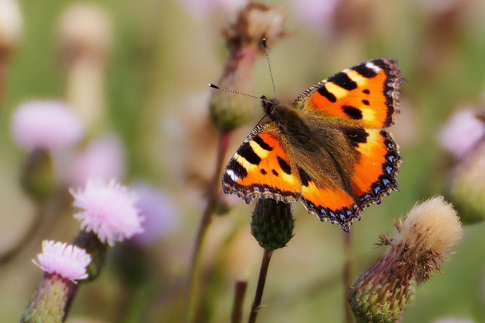 Butterfly, Insect, Meadow, Small Tortoiseshell, Animal