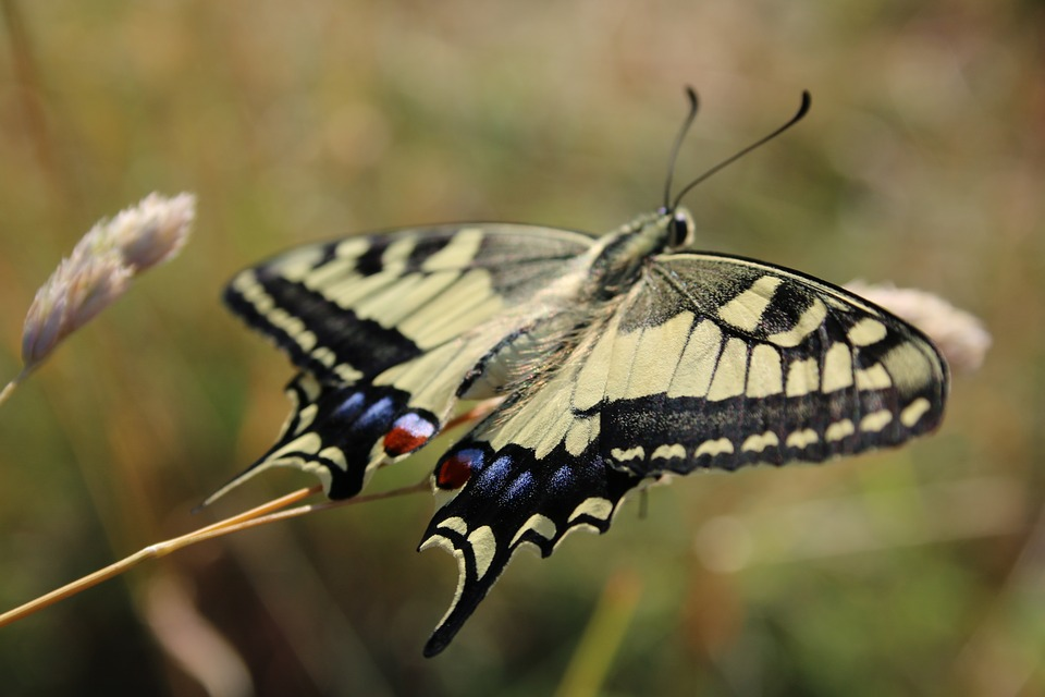 Butterfly, Drexel, Summer, Flying, Insect, Animal