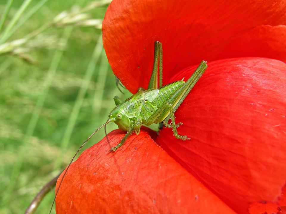 Grasshopper, Field Poppy, Insect, Animal, Plant