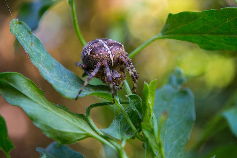 Spider, Insect, Close, Animal