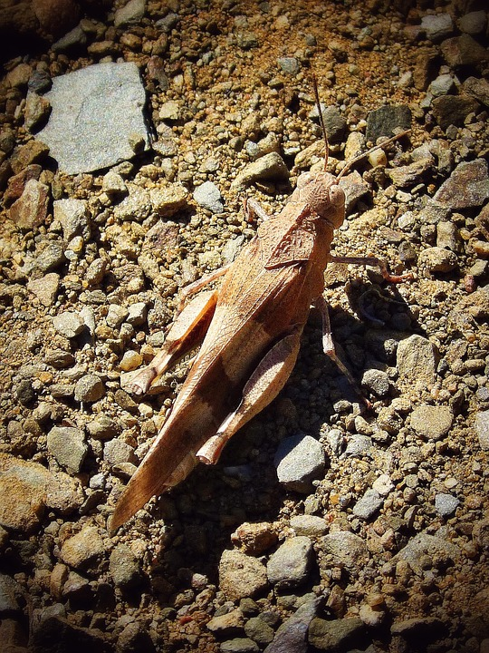 Grasshopper, Arthropod, Brown, Insect, Nature