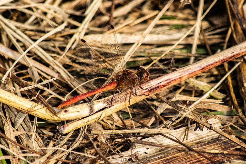 Dragonfly, Autumn, Beetle, Insect