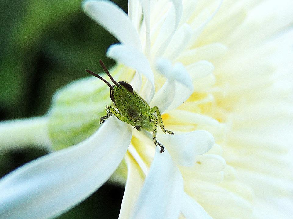 Grasshopper, Baby, Insect, Garden, Young, Macro