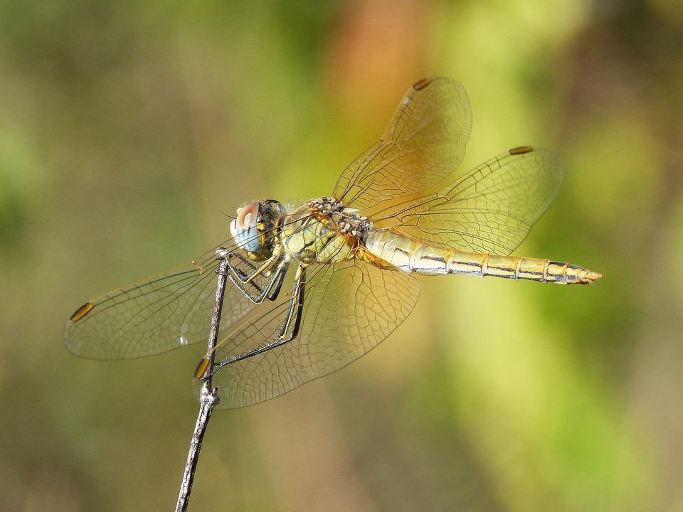 Dragonfly, Wings, Beauty, Insect, Libelulido