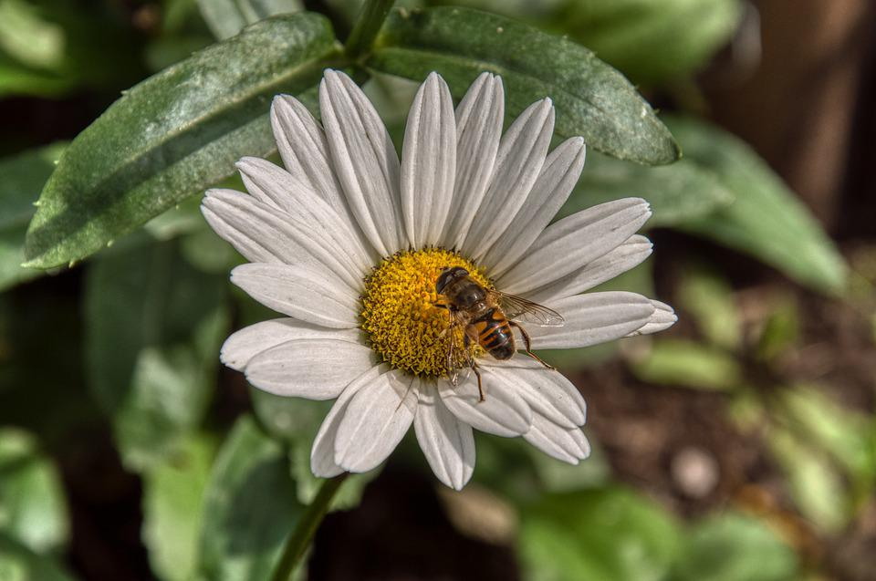 Marguerite, Flower, Blossom, Bloom, Bee, Insect, Spring