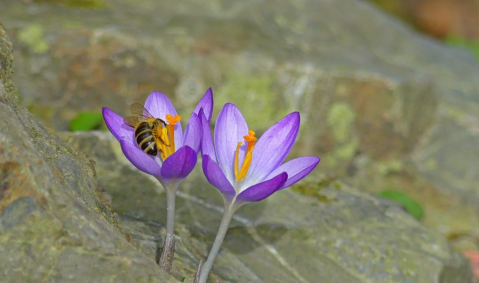 Crocus, Spring, Bee, Insect, Nature, Flower, Plant
