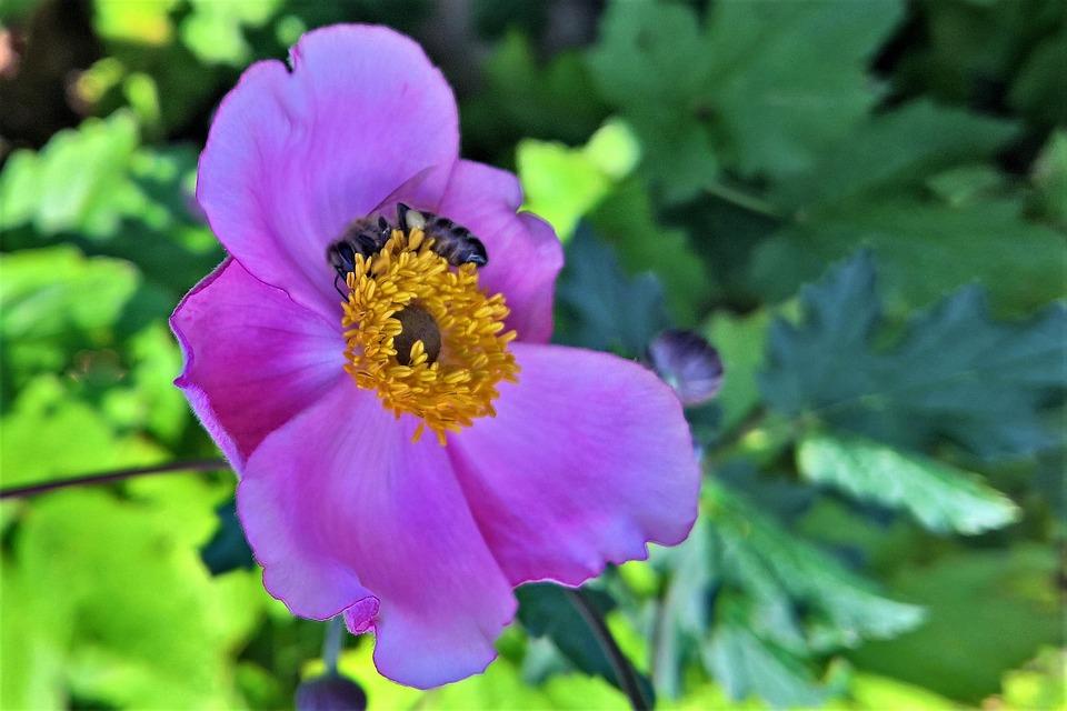 Fall Anemone, Bee, Insect, Ornamental Plant, Shrub