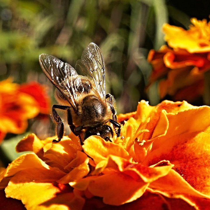 Bee, Insect, Flower, Afrikaner