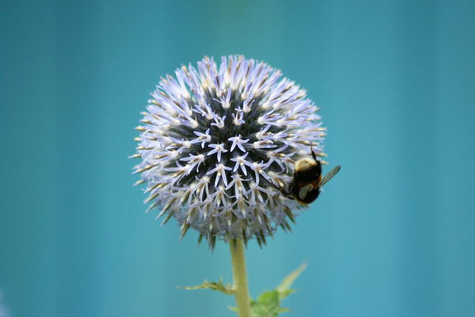 Flower, Bee, Insect, Blue