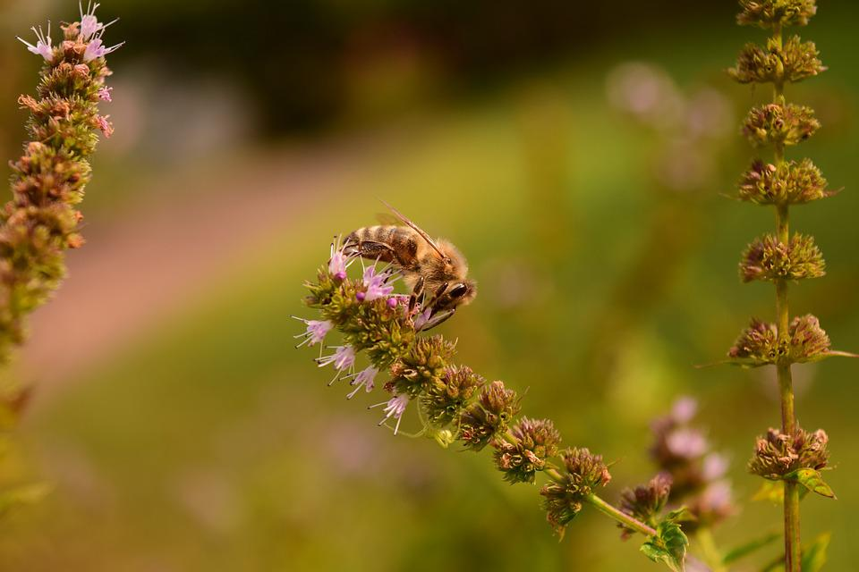 Mint, Minzblüte, Bee, Close, Insect, Flower, Animal