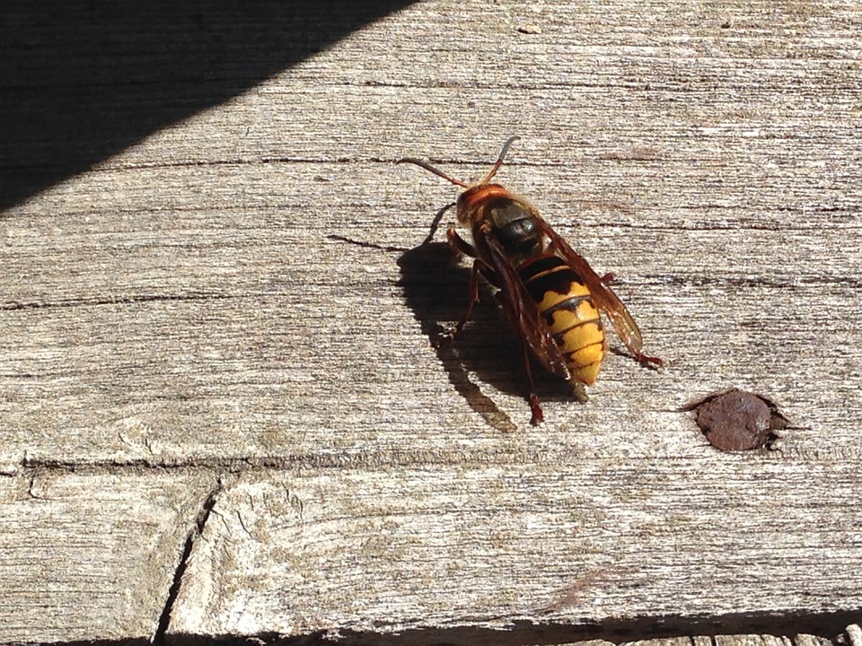 Hornet, Insect, Yellow, Bee, Fly, Nature