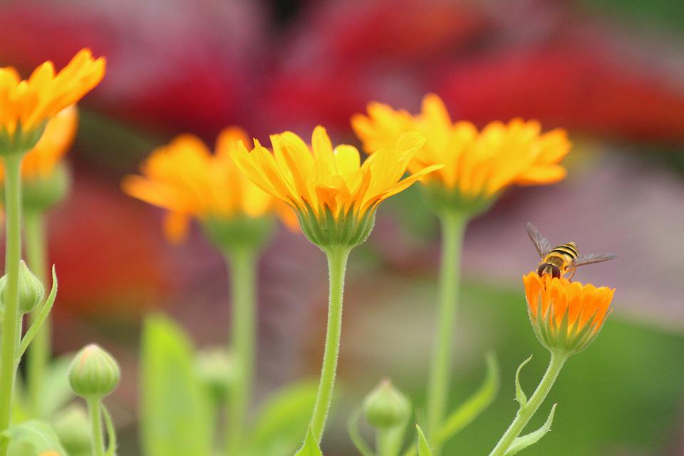 Calendula, Marigold, Flower, Summer, Insect, Bee, Plant