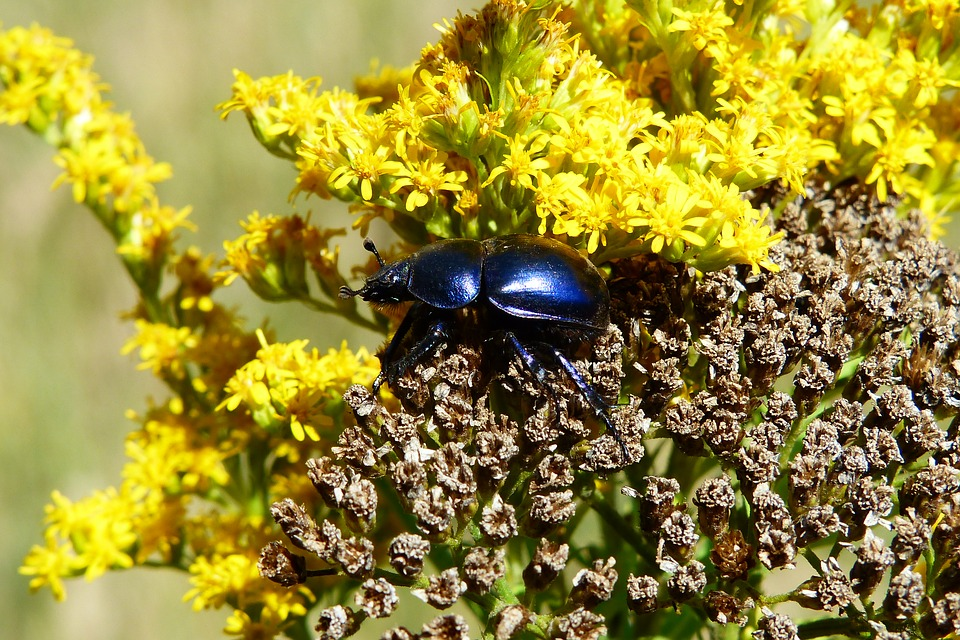 Beetle Gnojowy, Insect, The Beetles, Flower, Animals