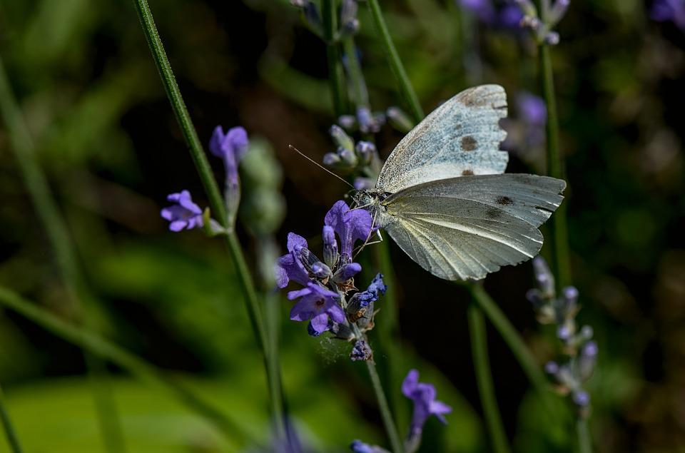 White, Butterfly, Insect, Blossom, Bloom, Blue, Garden