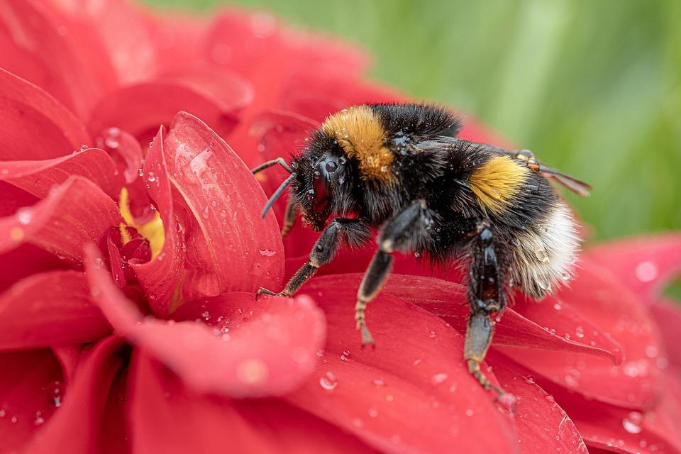 Hummel, Fictional, Bombus Terrestris, Insect, Blossom
