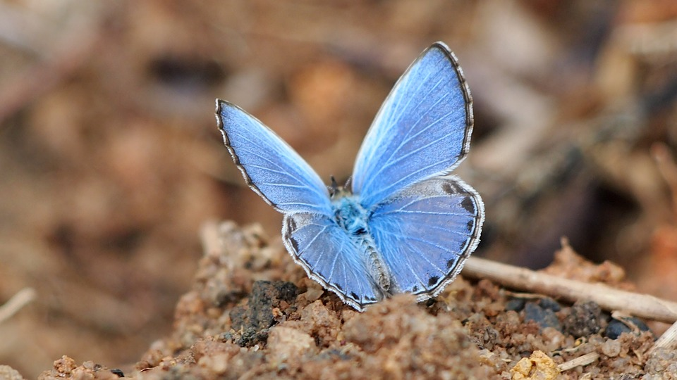 Butterfly, Blue, Blue Powder Butterfly, Insect, Natural