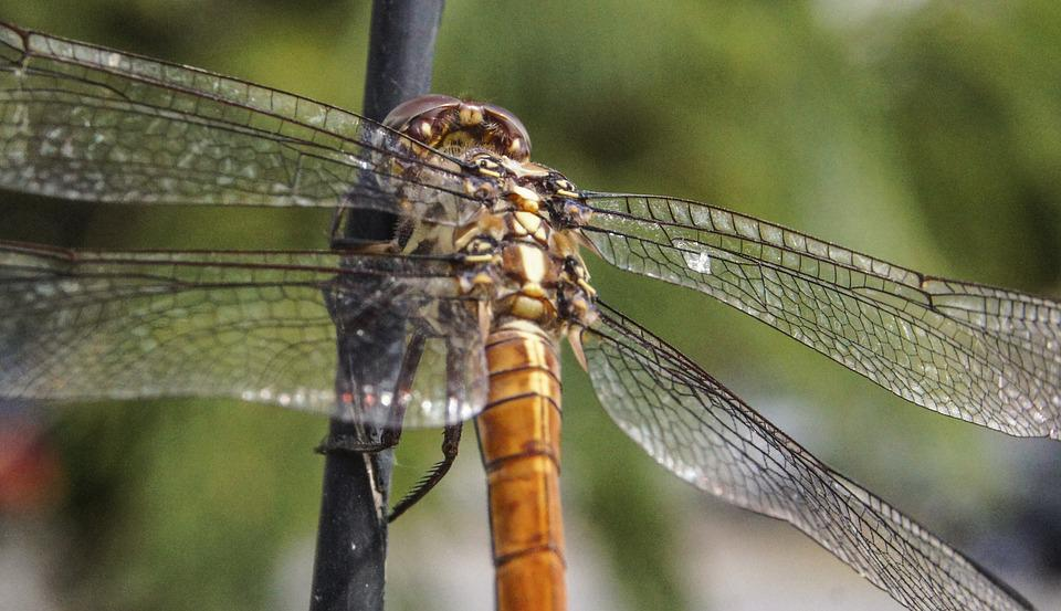 Insect, Dragonfly, Nature, Animal, Green, Wing, Blue