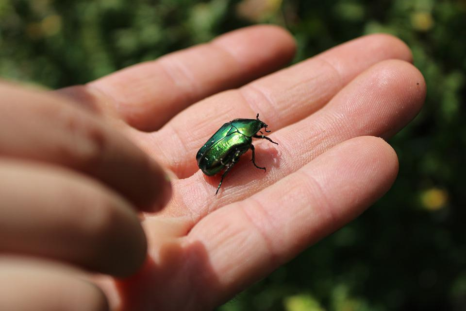Beetle, Bug, Insect, Green, Nature, Beatle