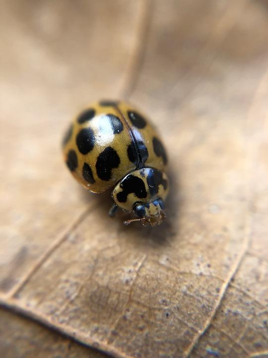 Ladybug, Ladybird, Insect, Bug, Nature, Spots, Creature