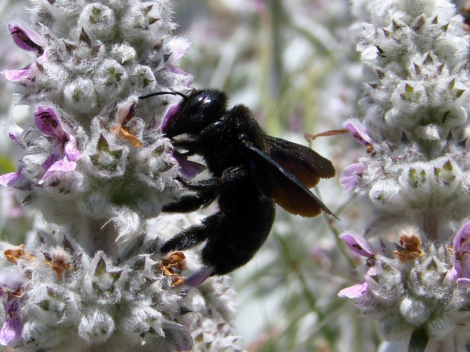 Xylocapa, Carpenter Bee, Insect, Bug, Macro, Close-up