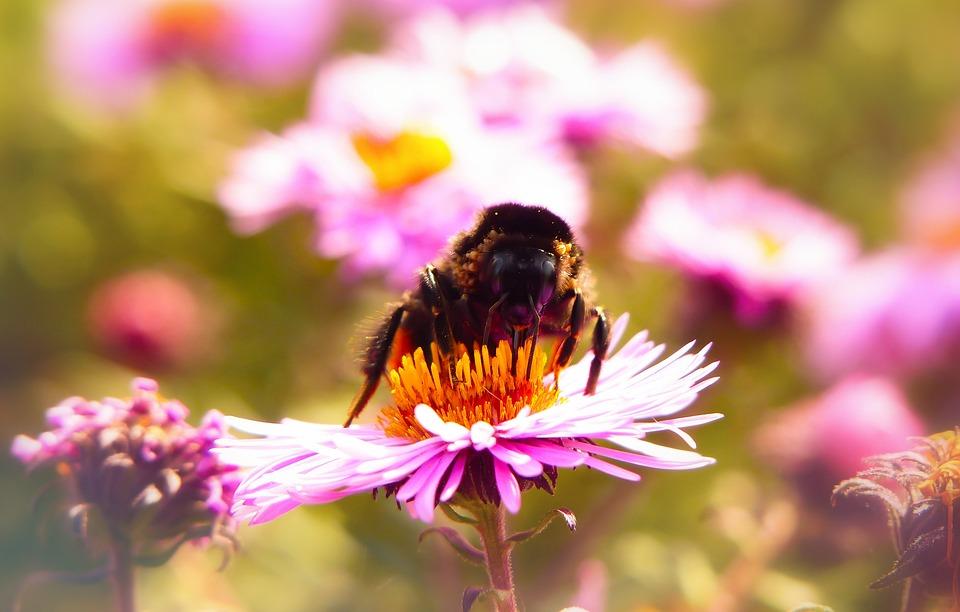 Bumblebee Kamiennik, Insect, Pszczołowate, Flower