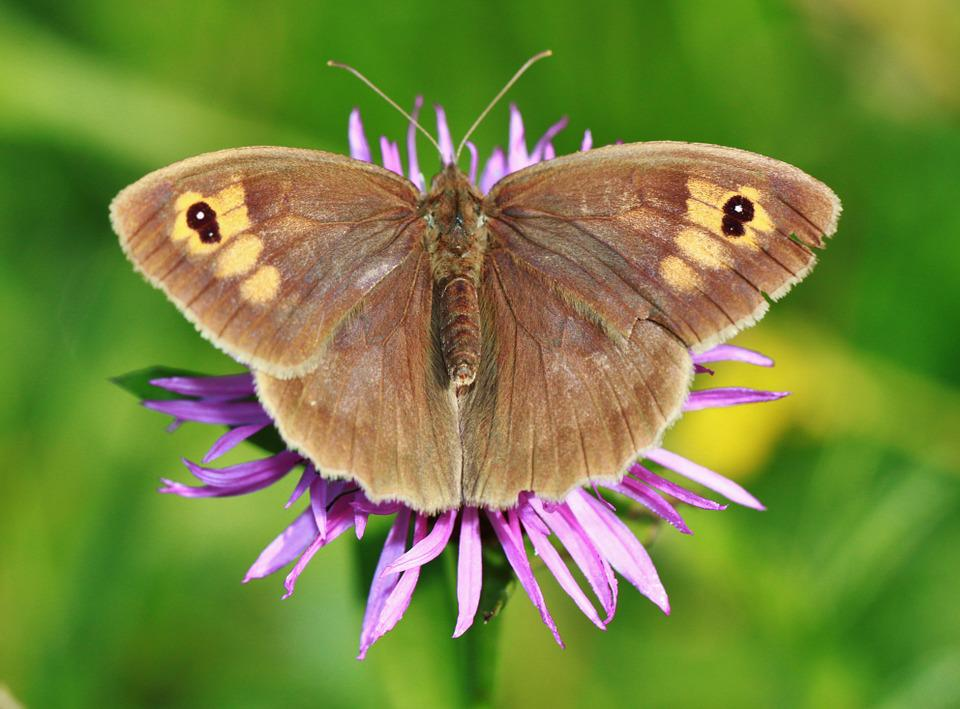 Meadow Brown, Butterfly, Butterflies, Insect, Wing