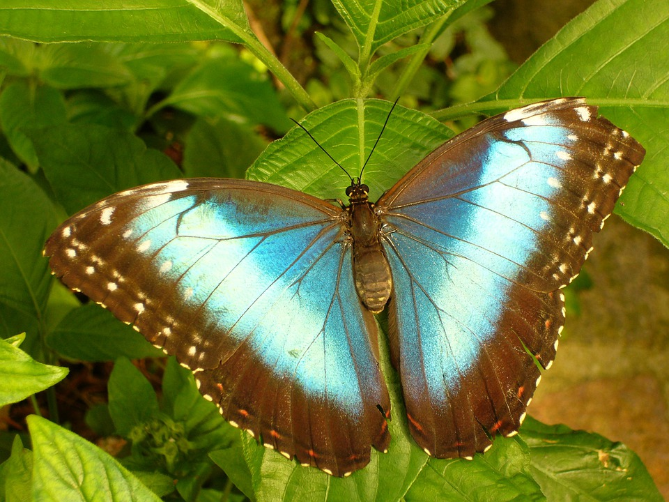 Butterfly, Insect, Butterfly House, Blue Morphofalter