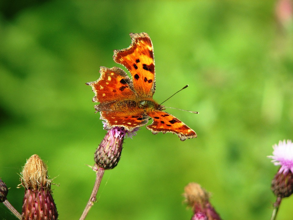 Butterfly, Insect, Butterflies, Brown, Wing, Probe