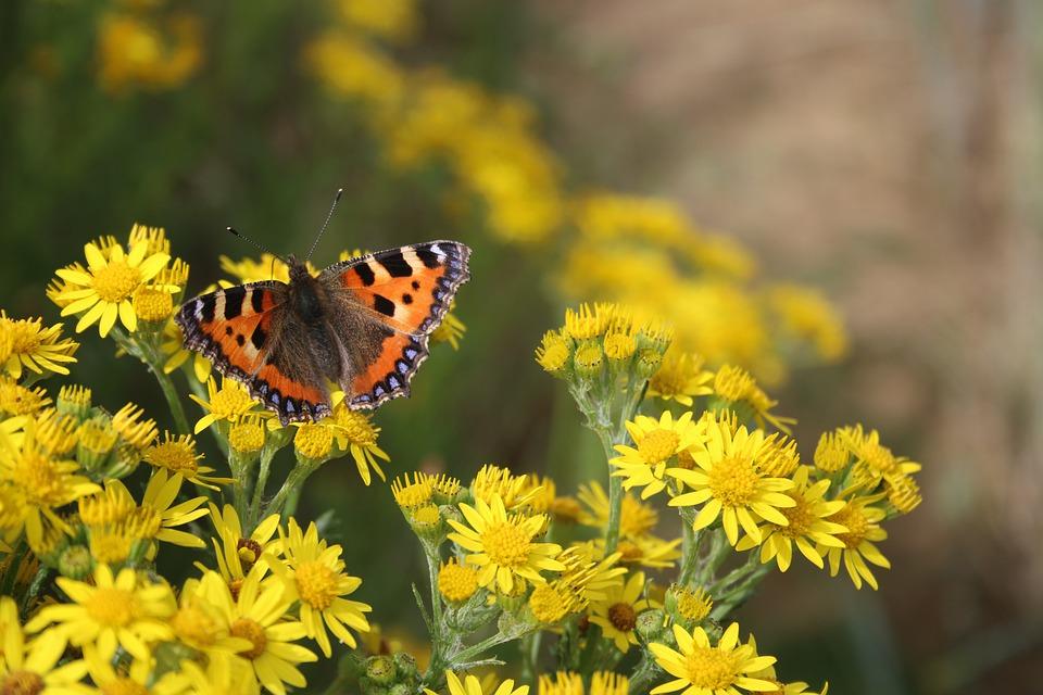 Butterfly, Insect, Bug, Flower, Summer, Tortoiseshell
