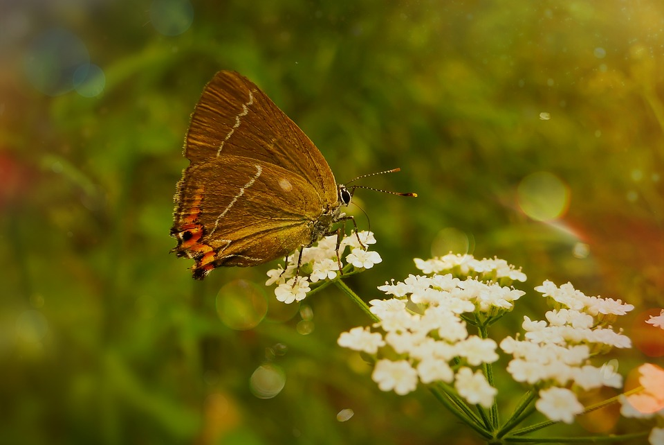 Ogończyk Ostrokrzewowiec, Butterfly Day, Insect, Flower
