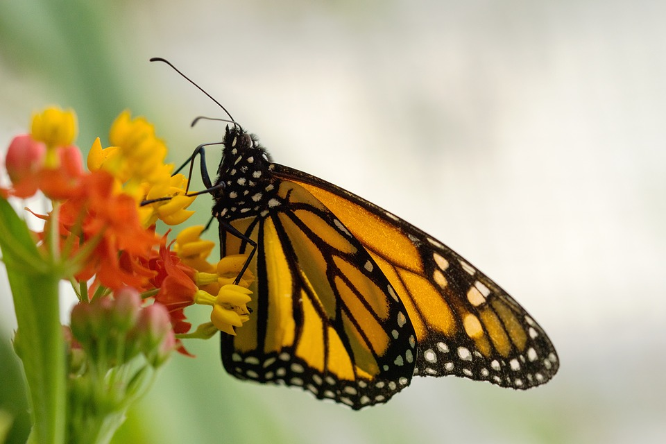 Butterfly, Insect, Nature, Wing, Flower