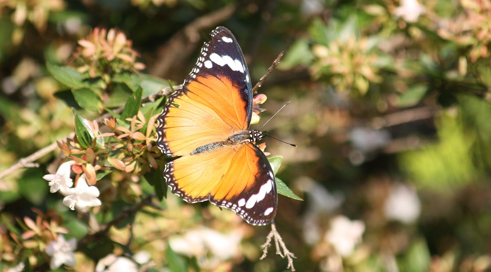 Butterfly, Orange, Insect, Colorful, Garden, Wing