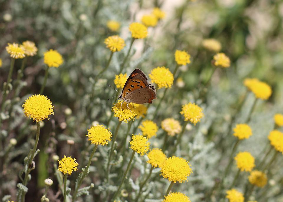 Small Copper, Butterfly, Insect, Nature, Wildlife