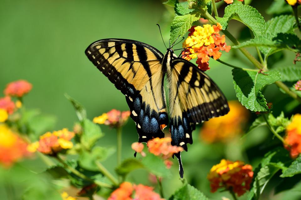 Butterfly, Nature, Insect, Yellow, Flower, Swallowtail