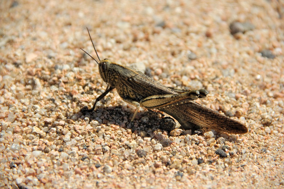 Grasshopper, Sand, Insect, Macro, Animal World, Close
