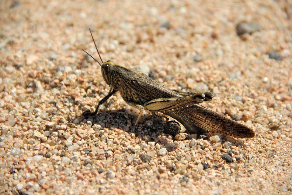 Grasshopper, Sand, Insect, Macro, Animal World, Close