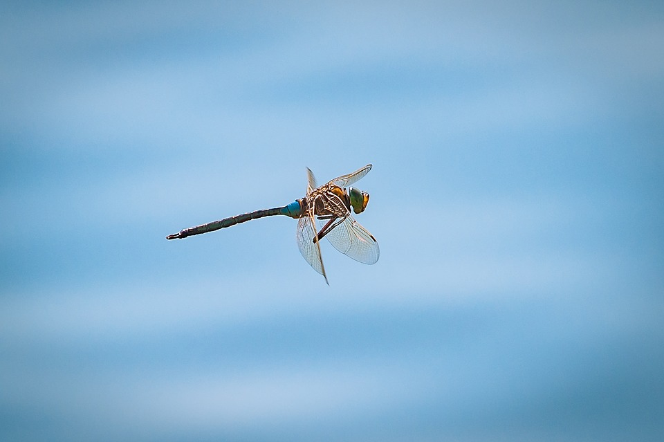 Dragonfly, Flight, Insect, Close, Nature