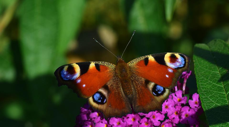 Peacock, Butterfly, Insect, Flower, Close, Edelfalter