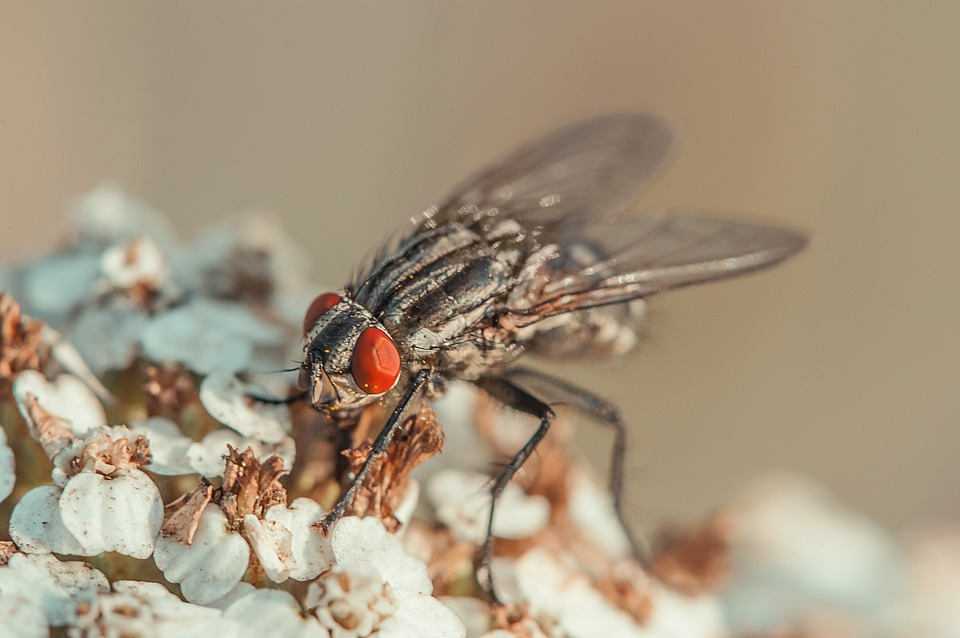 Fly, Insect, Compound Eyes, Macro, Nature, Close