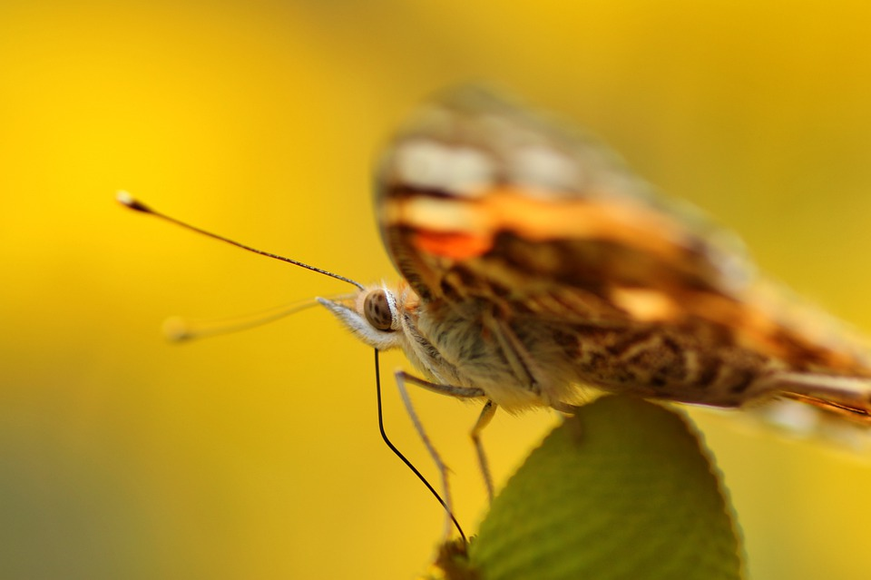 Vanessa Cardui, Close Up, Butterfly, Insect, Nature