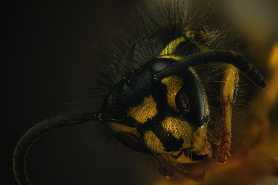 Wasp, Macro, Close Up, Insect, Nature, Arthropod