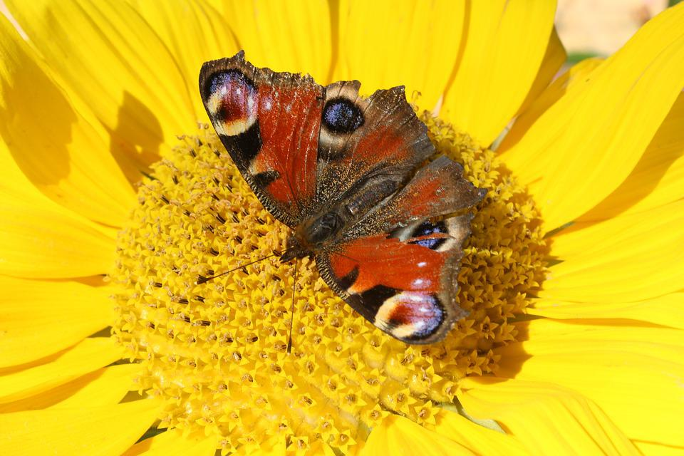 Yellow, Butterfly, Insect, Closeup